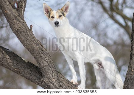 White Cross-breed Dog Standing On An Apricot Tree Branch And Watching For Enemies At Winter Season