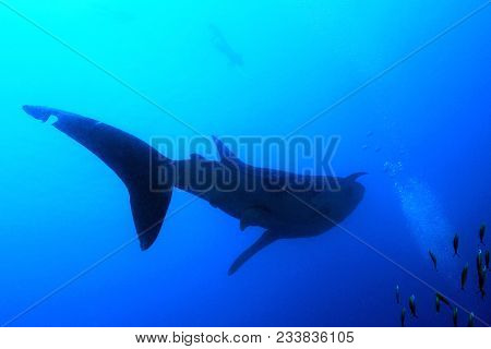 Whale Shark Silhouette, With Snorkeler By The Surface. South Ari Atoll, Maldives