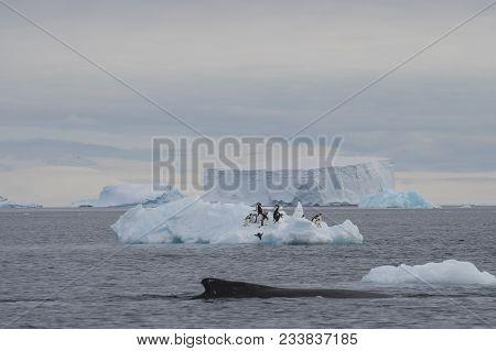 Humpback Whale Exhibiting Logging Behavior Taking A Nap