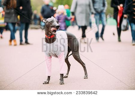Mexican Hairless Dog In Outfit Playing In City Park. The Xoloitzcuintli Or Xolo For Short, Is A Hair