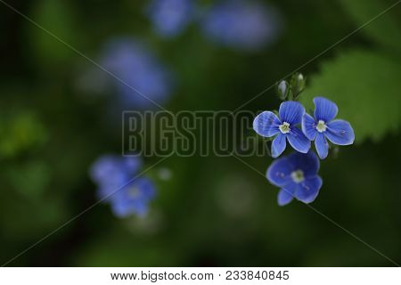 Forget-me-not In The Garden With Blurred Background