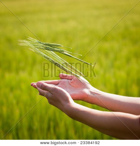 Symbolic gesture suggesting fertility, plenitude, health. Woman hands holding unripe barley ears in a lovely barley field lit by summer sunshine