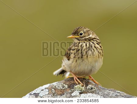 Close up of a juvenile Meadow pipit (Anthus pratensis) standing on a rock, Shetland islands, UK. poster
