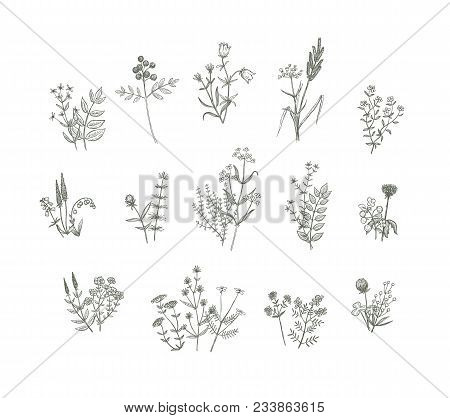 Set Of Vector Sketchy Hand Drawn Flowers. Vintage Style Field Flowers And Plants Illustration Collec