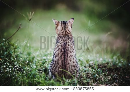 Back View. Pretty Bengal Cat Sitting On Green Grass And Looking Aside. Outdoor At Daytime. Animal Li
