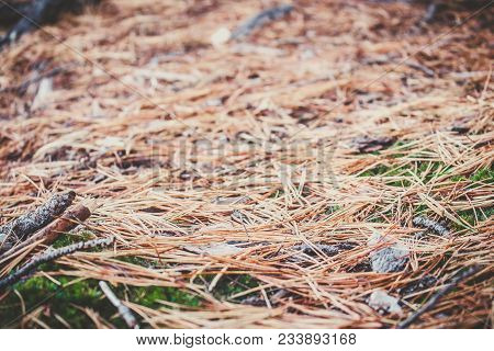 Coniferous Needles On A Green Moss In A Cedar Grove.forest Life, Wildlife Coniferous Forest.