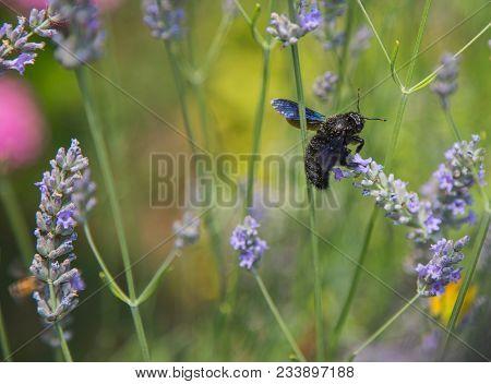 Close-up Of Black Hornet On Lavender Flower