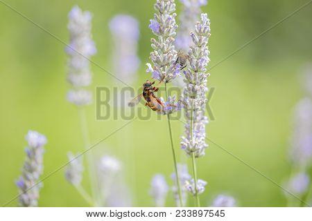Hornet Closeup On Lavender Flower Horizontal View