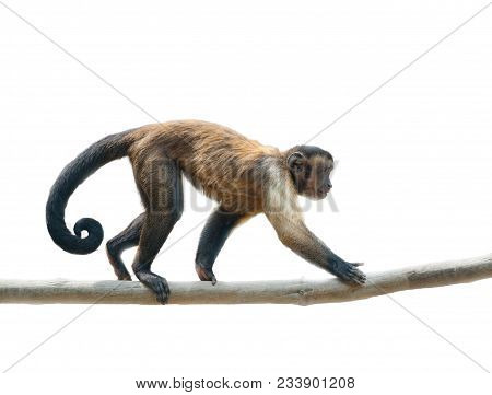Black-capped Capuchin Walking Along The Branch. Isolated Over A White