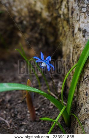 First Spring Scilla Siberica Flowers
