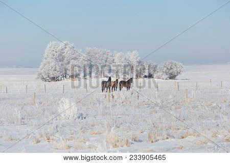 Horizontal Image Of Three Beautiful Horses Standing In A Snow Covered Pasture Behind The Fence With