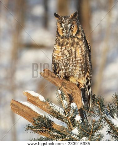 Close Up, Vertical Portrait Image Of A Long-eared Owl, Perched On A Tree Branch, In Winter.