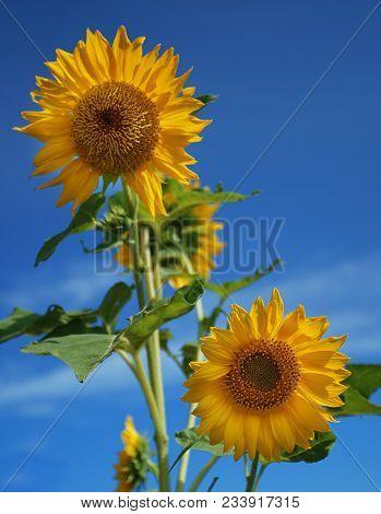 The Beautiful Sun Flower At Bantul Regency