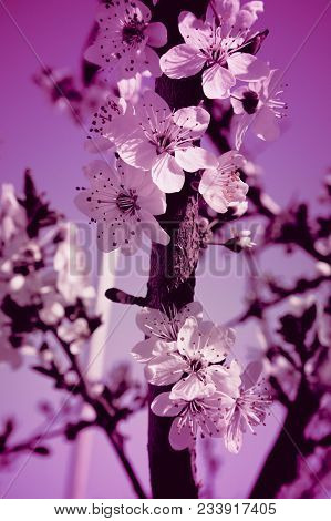 Romantic Apple Tree Brunches Blossoming With Gentle Pink Flowers And First Buds, Springtime. Beautif