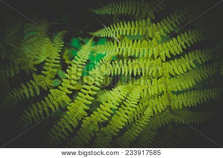 Mystical Colorful Bright Green Fern Leaves Background. Exotic Fern Frond Leaf Texture In The Forest