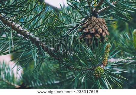 Photo Depicting A Bright Evergreen Pine Three With A New Small Green Cones. Little Tiny Cute Colorfu