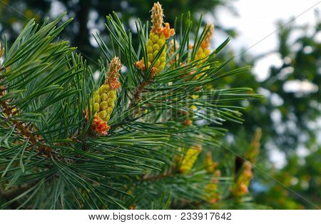 Photo Depicting A Bright Evergreen Pine Three With A New Small Yellow Cones. Little Tiny Colorful Ne