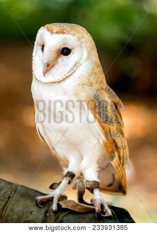 Barn Owl Is The Most Widely Species Of Owl, It Is Also Referred To As The Common Barn Owl.