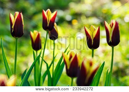 Beautiful Tulips In Park On A Blurred Background In Springtime