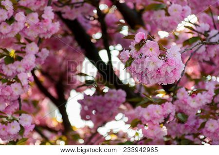 Delicate Pink Flowers Blossomed Japanese Cherry Trees