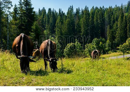 Cow Grazing In A Tall Grass Near The Forest. Beautiful Summer Scenery In Mountains