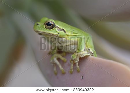 Tropical Green Tree Frog On Cactus Leaf