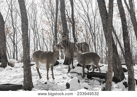 Beautiful Deer Stand Family In A Snowy Forest, A Family Of Deer And Fawns, Winter