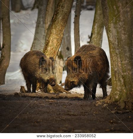 Two Wild Boars In Winter Season ( Sus Scrofa ); Animals In The Woods