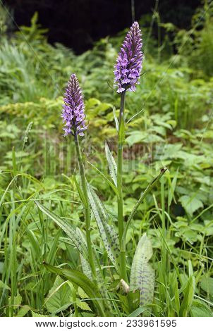 Marsh Orchid Hybrid