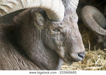 Portrait Of A Bighorn Sheep. Close-up Of A Head Of A Bighorn Sheep.