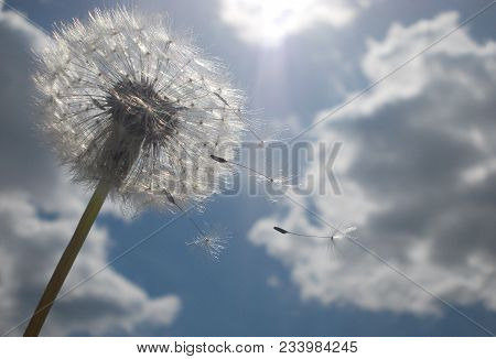 White Dandelion In Windy Weather With Blue Sky And White Clouds Behind