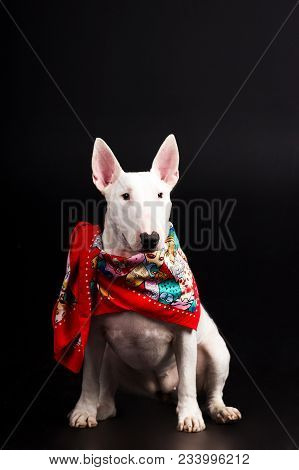 White Bullterrier With Red Scarf Looks Aside And Execute The Command Sit On Black Background At Stud