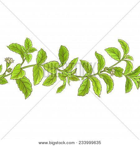 Stevia Branch Vector Pattern On White Background