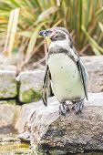 Single Humboldt penguin on the edge of a rocky zoological enclosure poster