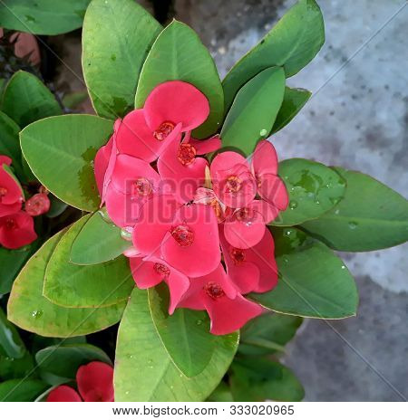 Euphorbia Milli Beautiful Spongy Pinkish Flower With Leafy Background Grow In The Garden Of Asansol,