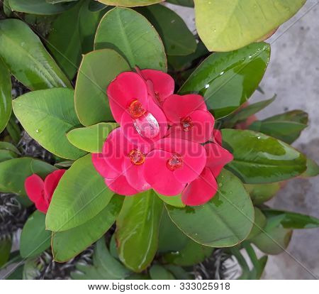 Euphorbia Milli Spongy Look Reddish Pink Flower With Water Drops And Leaves Background In The Garden