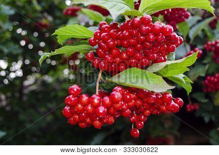 Red Juicy Viburnum Berries On Brunch. Nature Plant Tree Brunch Of Viburnum.