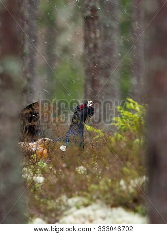 The Western Capercaillie, Tetrao Urogallus, Also Known As The Wood Grouse, Heather Cock, Or Just Cap