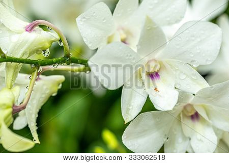 White Orchids Flower Head And Buds Seen After The Rain With Water Droplets On Them