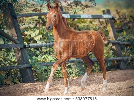 A Contented Sorrel Playful Colt Trots Through A Sawdust Paddock On A Farm On A Sunny Summer Day.