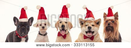 beautiful little santa claus puppies wearing red christmas hats on hite background
