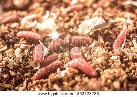 Macro Photo Pink Red Maggots. Image Background Fishing Bait Pink Worms Fruit Fly Maggots.