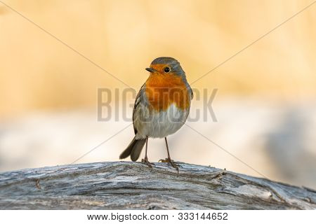 A Cute Little European Robin (erithacus Rubecula) Standing On A Peace Of Wood (isonzo, Italy)