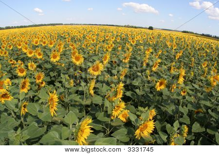 Planet Of Sunflowers