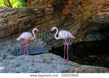 Two Pink Big Exotic Birds Flamingo Couple On Rocks Near Water. Flamingos With Pink Color Legs & Feat