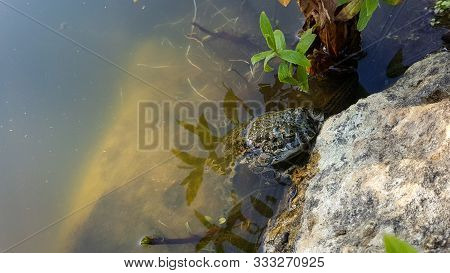 Frog Resting On A Rock Near The Water. Frog Resting On A Rock Near The Water. A Marsh Frog Sits Near