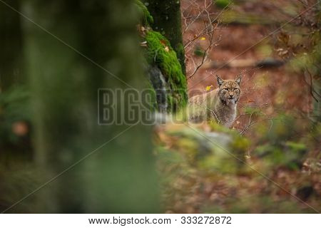 Lynx Lynx. The Wild Nature Of The Czech Republic. Free Nature. Picture Of An Animal In Nature. Beaut