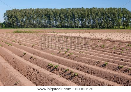 Landscape With Rows Of Trees And Potato Plants