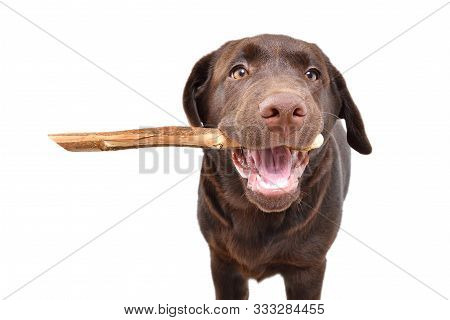Portrait Of A Cute Labrador Puppy With A Stick In His Teeth Isolated On White Background