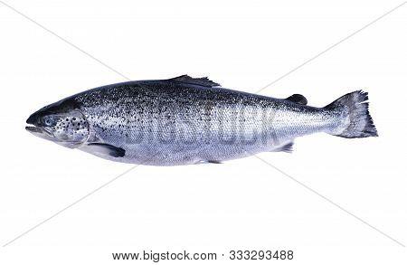 Salmon Fish Isolated On White Background. Fresh Wild Salmon Isolated On A White With Clipping Path.
